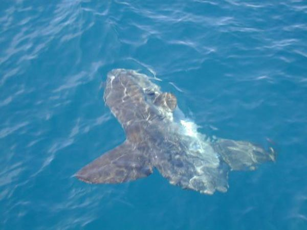 From NOAA's Ocean Explorer: A mola mola soaks up the sun. Image courtesy of Jon Moore.