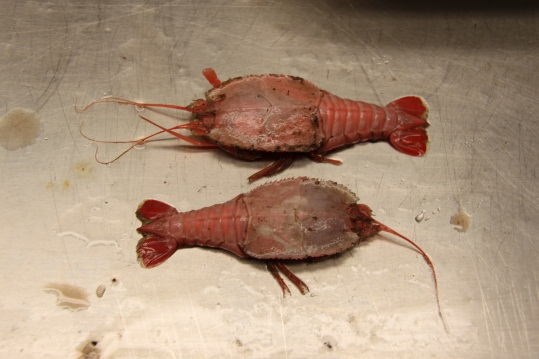 Blind lobsters, Pentacheles laevis