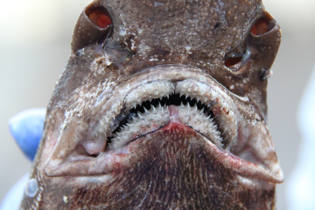 Up close and personal with a Catshark (Apristurus manis) caught on a bottom-trawl. These deep water sharks have several rows of sharp multicuspid teeth.