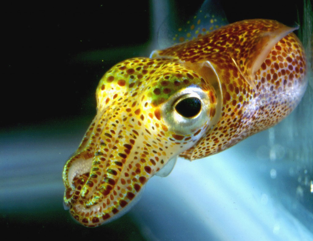 Hawaiian_bobtail_squid04
