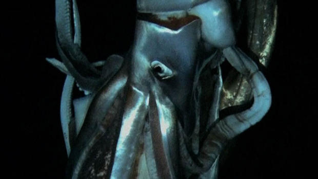 giantsquid_closeup_620x350