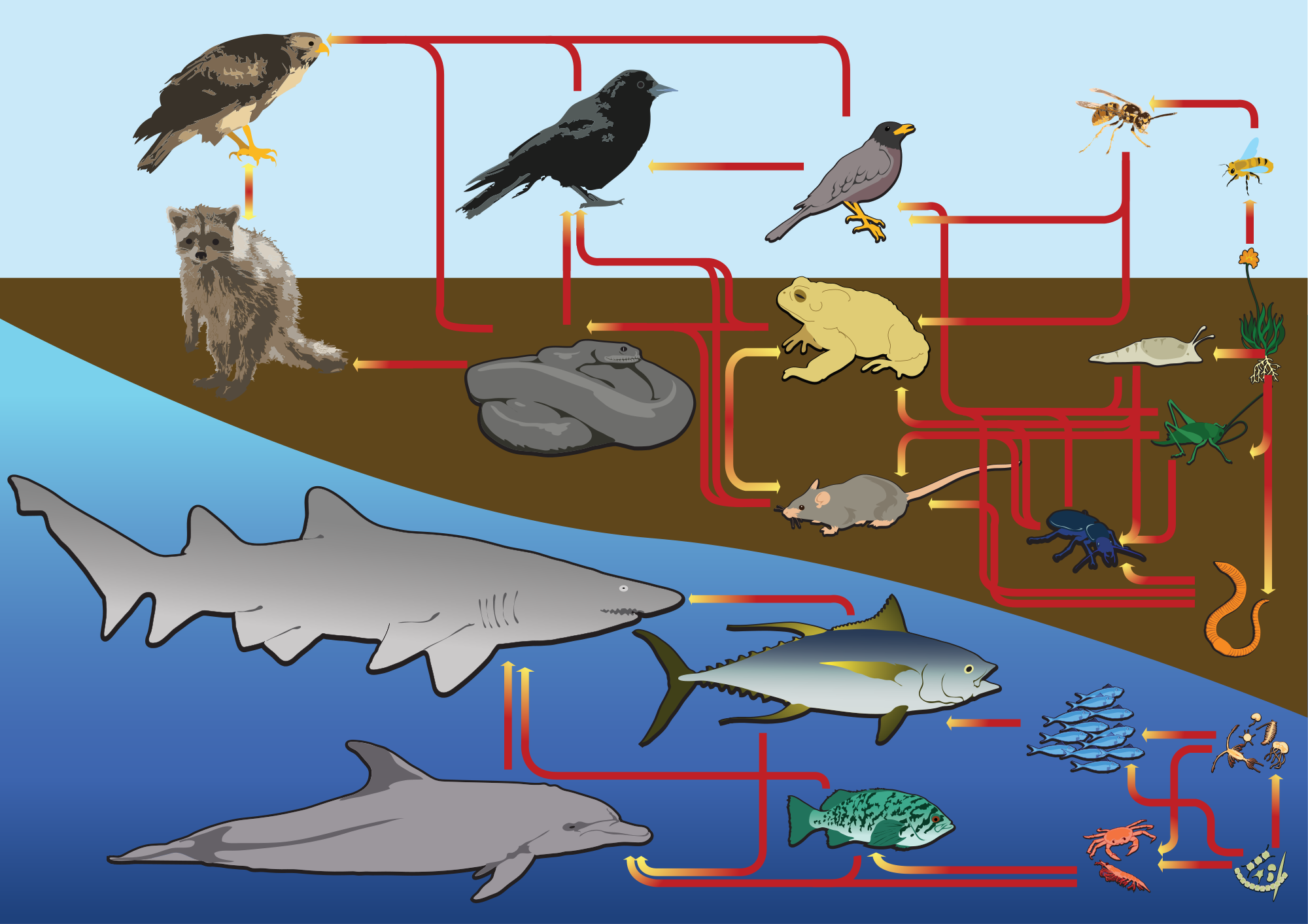 Freshwater Food Chain Diagram For Kids