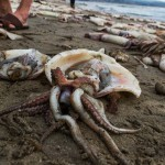 Climate Change and Hurricanes, Good for Squid?