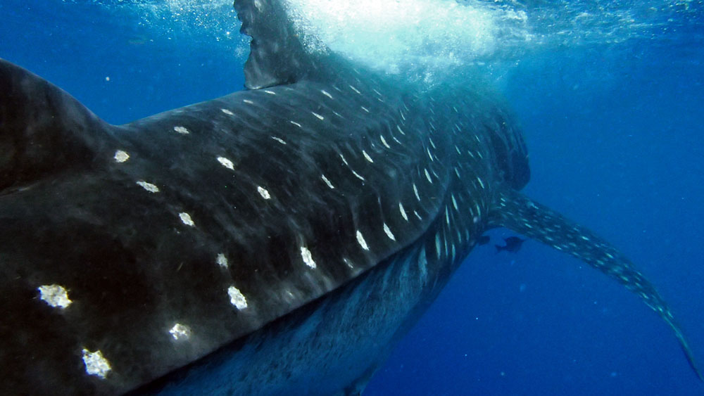 A whale shark glides by like a giant submarine. Picture: Al Dove