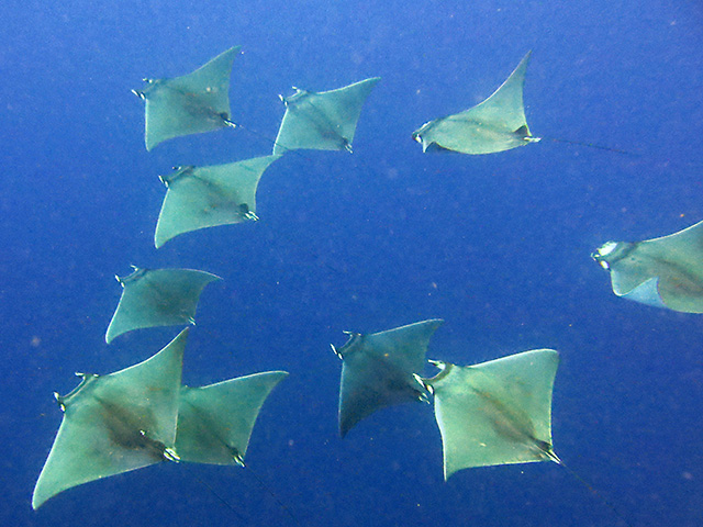 Mobula rays.  Photo: Eric Van Dorn