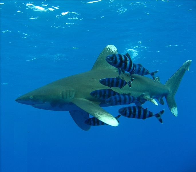 Oceanic whitetips. Image source: wikipedia