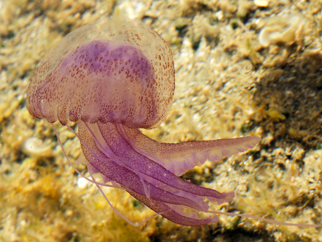 Mauve stinger jelly Pelagia noctiluca, image source: Wikipedia