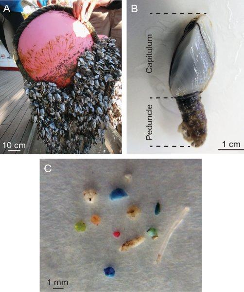This is a figure from our paper that shows (a) barnacles growing on a buoy; (b) a closeup of an individual barnacle. The body is inside the white shell, and the stalk is just muscle; and (c) Plastic that we pulled out of a single barnacle's guts.