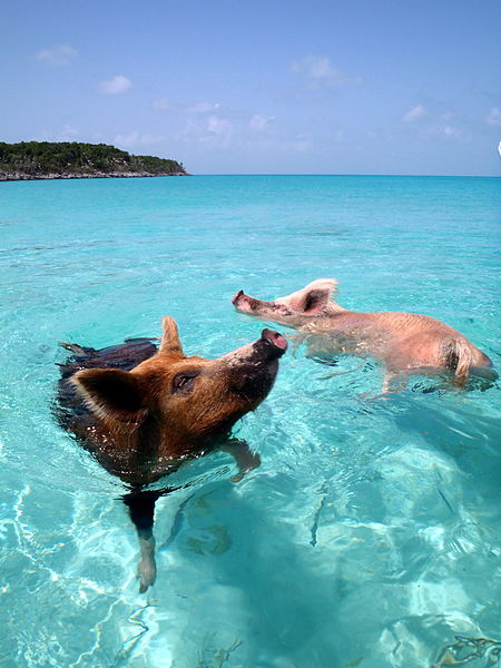 450px-Vorobek_Bahamas_-_swimming_pigs
