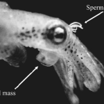 Pygmy Squids Females Favor Small Males and Fast Copulation