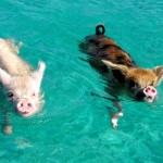 The Tiny Swimming Pigs of Pig Beach