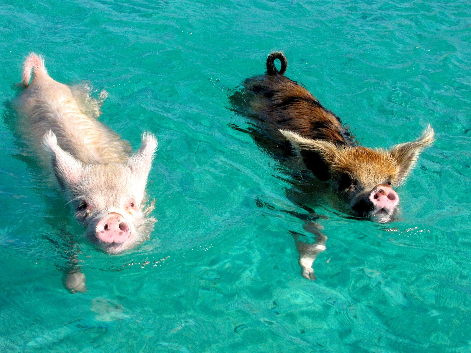 The Tiny Swimming Pigs of Pig Beach | Deep Sea News