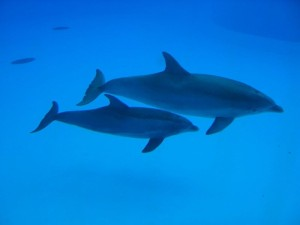 Dolphins. Note that this is a top view, distorting the tail, but you can clearly see the lack of a 2nd dorsal fin and the relative placement of dorsal and pectoral fins. WikiMedia Commons, user Arnaud 25.  http://commons.wikimedia.org/wiki/File:Parc_Asterix_20.jpg