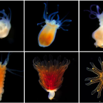 Scientists use electricity, drugs, to uncover the secret world of jellyfish