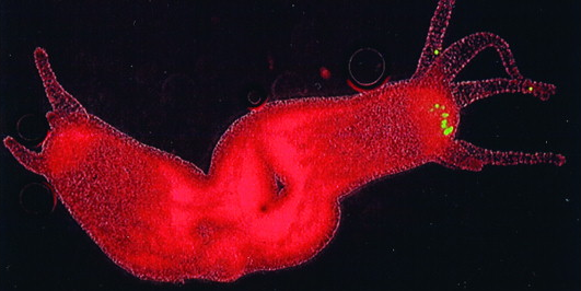 Two newly formed Hydra, with green dots showing the organizing head cells.