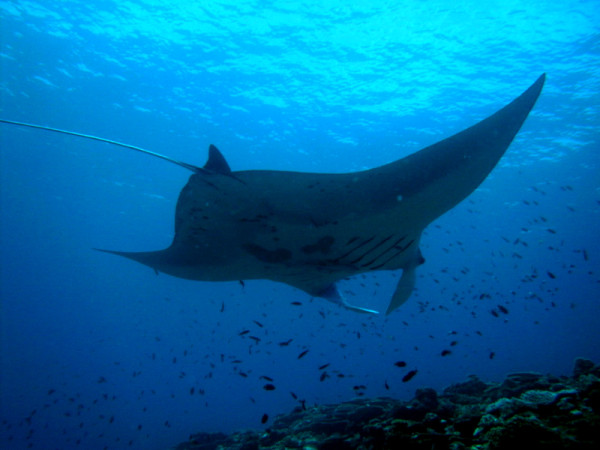 Mantas to Reef Fishes: I Drink Your Miltshake