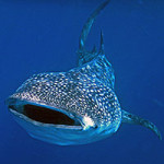 ZOMG Whale shark attack!!!!  Or not…