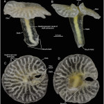The Tale of a New Phylum That Really Wasn't