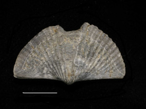 Photo credit: Laurie VanVleet, Ithaca City School District From the collection of the Paleontological Research Institution (PRI), Ithaca, New York.  Scale line is equal to 1centimeter