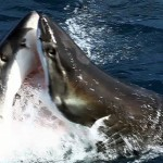 Brutal Battle Between Great White Sharks? Not really, no.