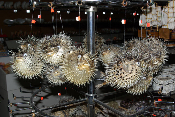 From the Philippines to Tarpon Springs, Florida. Dried Spotted Porcupine Fish and Blotched Porcupine Fish (Diodon holocanthus) sold as curios.  Paddy Ryan/Ryan Photographic.