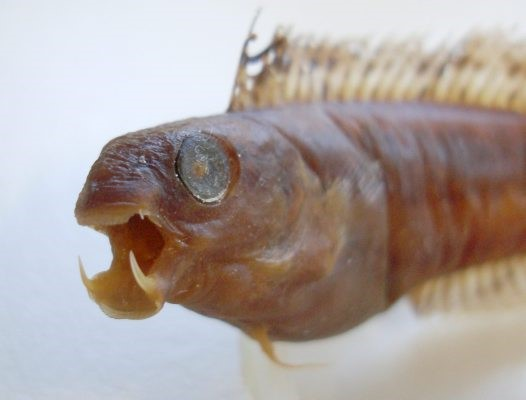 A Brown Vampire Blenny showing its fangs. Photo courtesy of Mark McGrouther.
