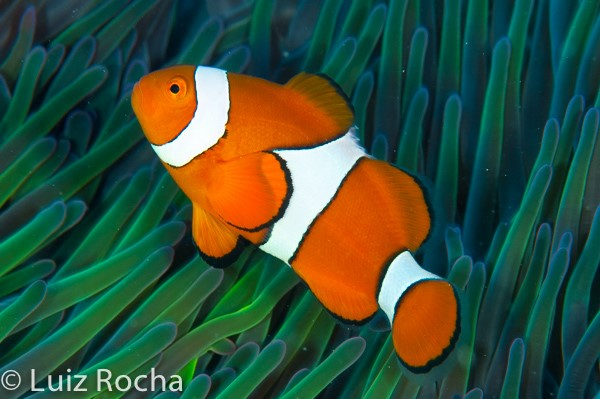 The False Clown Anemonefish (Amphiprion ocellaris) is THE quintessential orange, white and black fish.