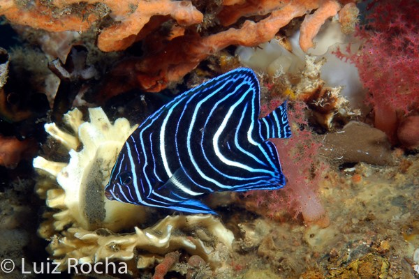To celebrate the Royals, the white and blue juvenile Semicircle Angelfish (Pomacanthus semicirculatus).
