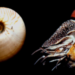 The Odd Nautilus Organs Named After People