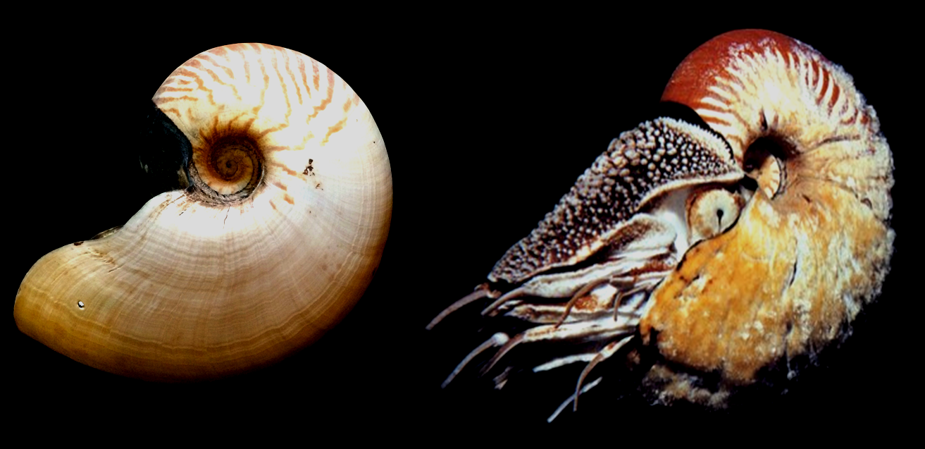 The Odd Nautilus Organs Named After People Deep Sea News