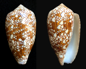 MM Conus textilis Cloth of Gold 4