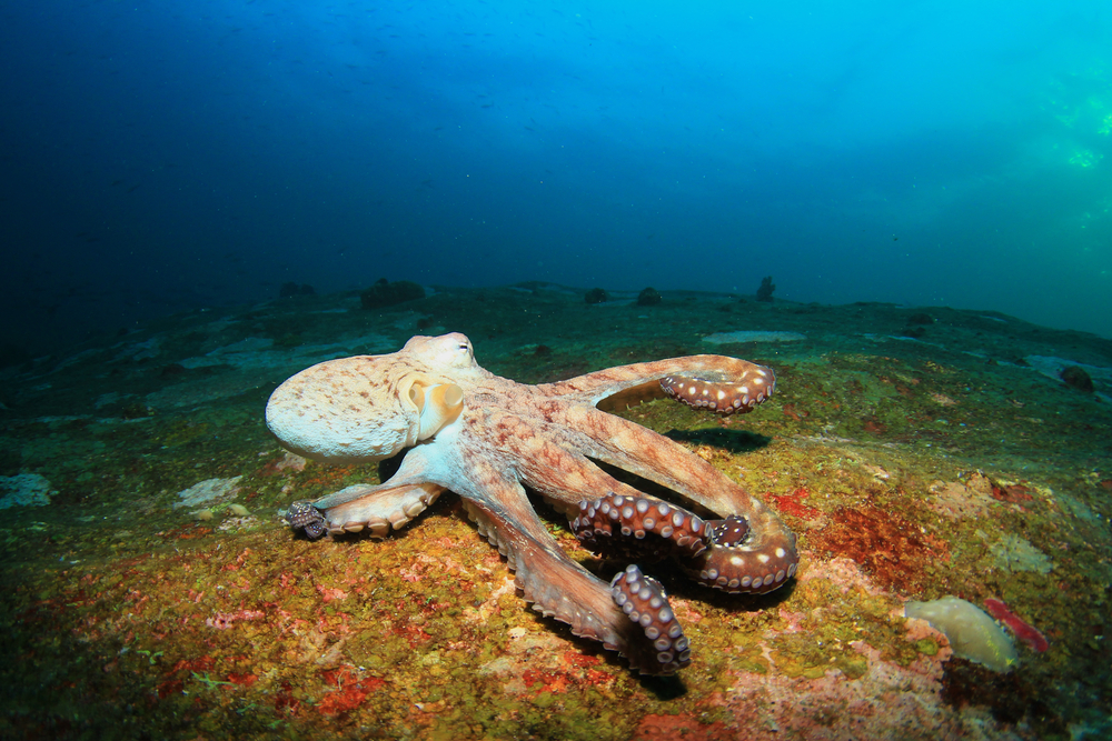 This octopus will crawl at you in ANY DIRECTION [image courtesy of shutterstock]