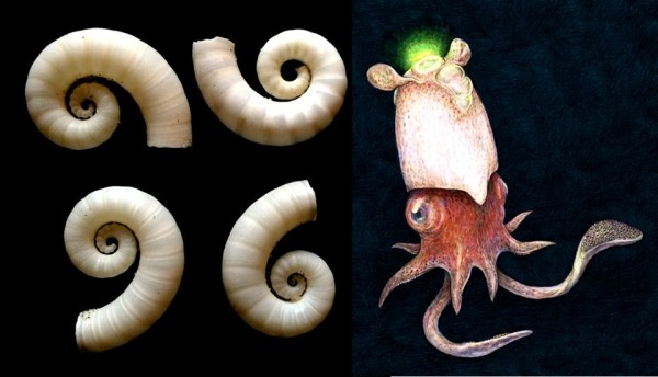 Photo of Spirula shells by D.J. Long/Deep Sea News; drawing of living Spirula by Rachel Caauw