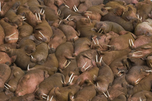 An ugly of walruses. [image courtesy shutterstock]