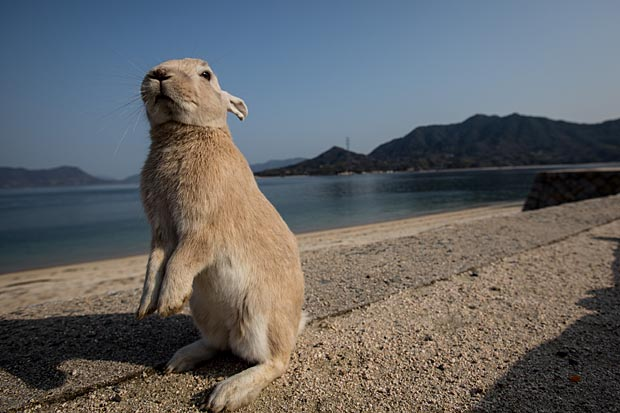 "TAKEHARA, JAPAN - FEBRUARY 24:  A rabbit waits for food at the beach on Okunoshima Island on February 24, 2014 in Takehara, Japan. Okunoshima is a small island located in the Inland Sea of Japan in Hiroshima Prefecture. The Island often called Usagi Jima or ""Rabbit Island"" is famous for it's rabbit population that has taken over the island and become a tourist attraction with many people coming to the feed the animals and enjoy the islands tourist facilities which include a resort, six hole golf course and camping grounds. During World War II the island was used as a poison gas facility. From 1929 to 1945, the Japanese Army produced five types of poison gas on Okunoshima Island. The island was so secret that local residents were told to keep away and it was removed from area maps. Today ruins of the old forts and chemical factories can be found all across the island.  (Photo by Chris McGrath/Getty Images)"