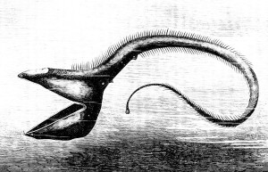 https://commons.wikimedia.org/wiki/File:PSM_V23_D086_The_deep_sea_fish_eurypharynx_pelecanoides.jpg