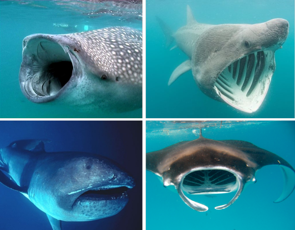 Today's giant filter feeding elasmobranchs. From top left Whale Shark (Rhincodon typus), photo by Werner Mischler; Basking Shark (Cetorhinus maximus) , Doug Perrine, Seapics; Reef Manta (Manta alfredi) Kristy Cole, Underwater Escapades; Megamouth Shark (megachasma pelagios), Wikimedia Commons.
