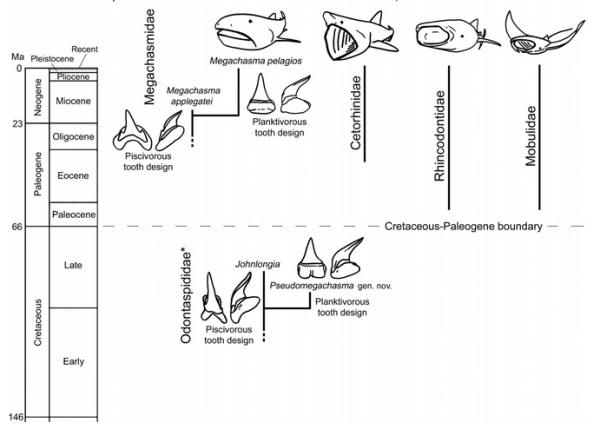 The separate evolutionary histories of today's giant planton-feeding elasmobranchs, and the previous evolution and extinction of the first filter-feeding shark Pseudomegachasma.