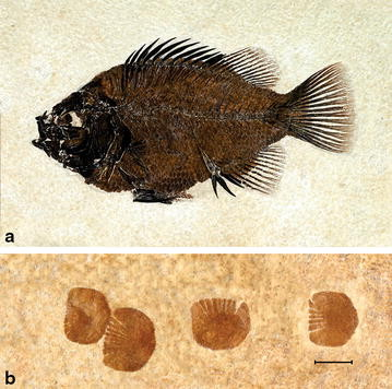 The perciform fish Cockerellites liops, from the Fossil Butte Member of the Green River Formation (Eocene). a A specimen with well-preserved scales. b Close-up of some isolated scales from the same species. From Grande ([2013]); used with permission