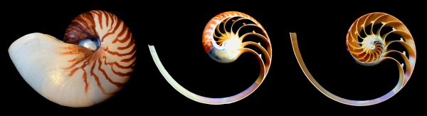 Chambered nautilus Complete