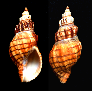 Photograph of a Cooper's Nutmeg snail (Cancellaria cooperi) collected from 55 fathoms off Torrey Pines, San Diego Co., California by D.J. Long/Deep Sea News.