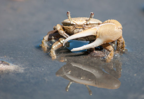 Fiddler crab (uca leptodactyla) in El Guamache, Margarita Island, Venezuela. By The Photographer (Own work) [CC0], via Wikimedia Commons