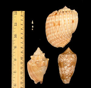 Common deep-sea snails verses some common shallow-water snails