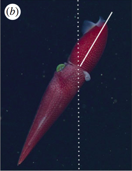 the little strawberry squid with the big eye | deep sea news