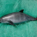 Beyond drug lords and conservationists: Who is missing in the coverage of the vaquita's demise?