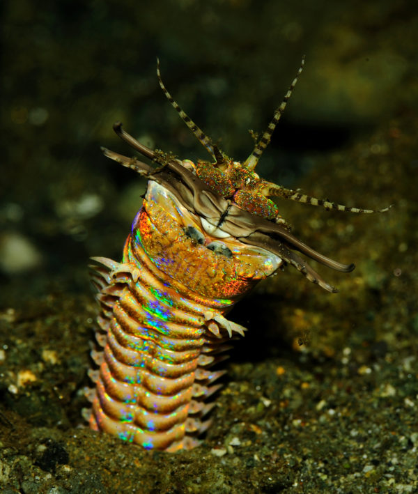 Image of the marine worm Eunice aphroditois, also known as the sand worm, emerging from sand