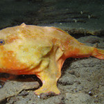 27 Best Deep-Sea Species #16: Red-eyed gaper <em>Chaunax</em>