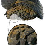 The 27 Best Deep-Sea Species: #4 Gold-Footed or Scaly Foot Snail