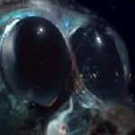 The 27 Best Deep-Sea Species: #5 Barreleye Fish