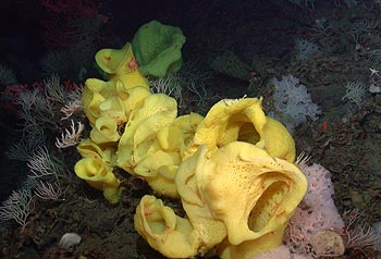 "Image credit: (c) 2006 MBARI / NOAA  These large yellow sponges are of an unknown species, but researchers on the cruise have been calling them ""Picasso sponges"" because of their wild shapes. The yellow sponges grow to almost one meter (three feet) tall. Like the corals on Davidson Seamount, the sponges feed on tiny particles suspended in the currents. Download a high-resolution version of this image."
